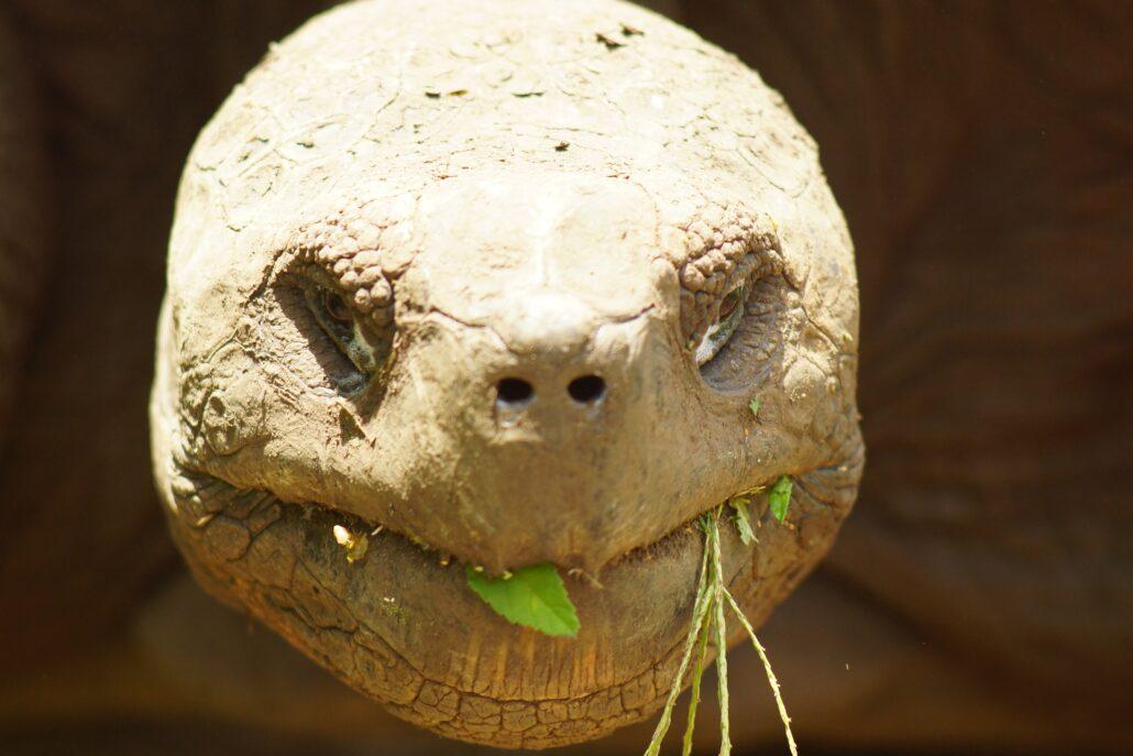 Eine Galapagos-Schildkröte beim Essen. Diese Tiere leben sehr lange und Essen manchmal über lange Phasen nichts, wie ein Mensch beim Intervallfasten